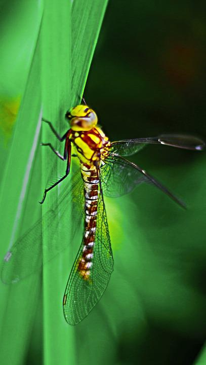 Dragonfly, Insect, Close, Wing, Animal, Nature, Macro