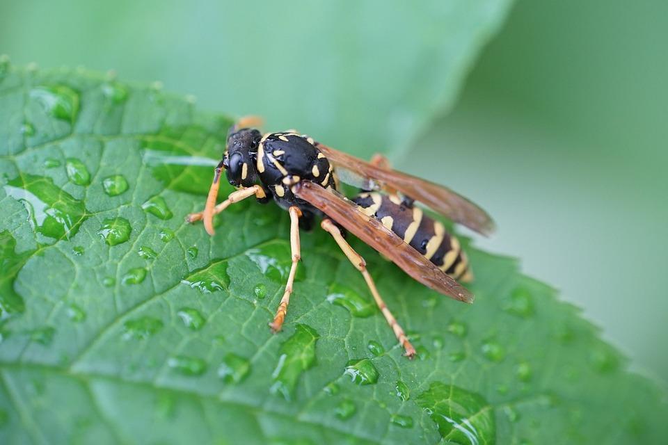 Osa, Insect, Macro, Drops, Rain, Nature, Garden