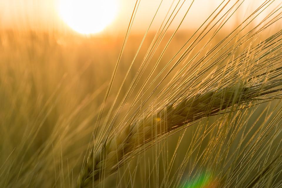 Barley, Field, Ear, Macro, Golden Yellow, Golden, Close