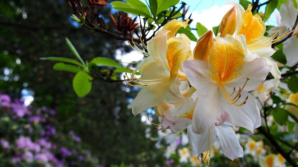 Azalea, Flower, Rhododendron, Macro, Ornamental Plants