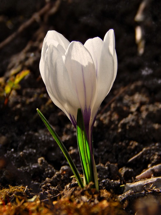 Crocus, Spring, Macro, Flower, Nature