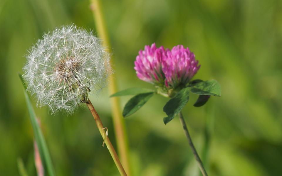 Dandelion, Flower, Macro