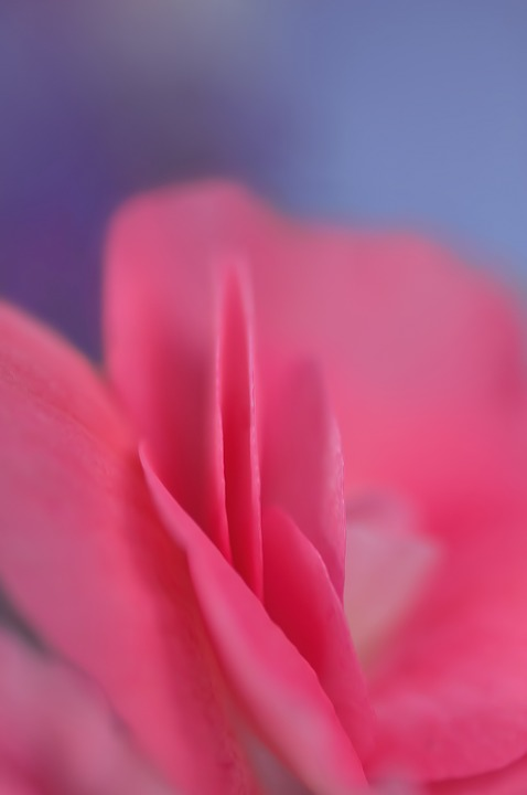 Rose, Petal, Pink, Petal Of A Rose, Flower, Macro