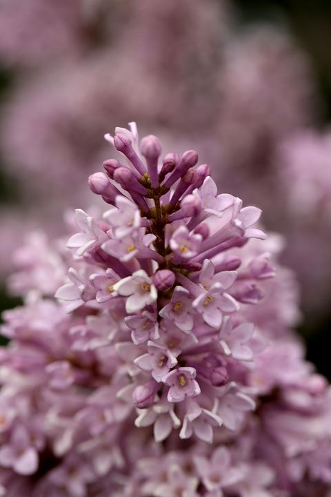 Lilac, Flower, Garden, Nature, Summer, Macro, Blossom
