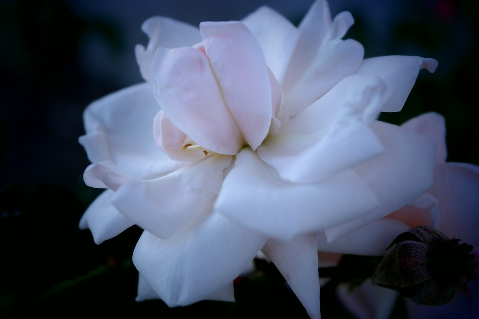 Flower, Tickets, Rose, Passion, Macro