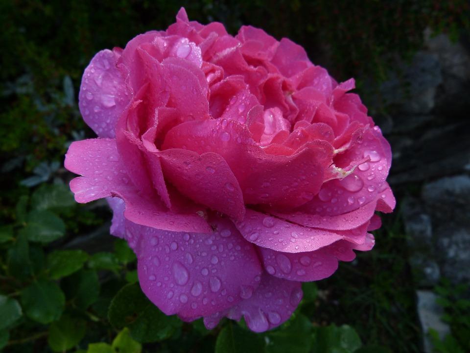 Flowers, Pink, Macro, Petals, Spring, Pink Rose