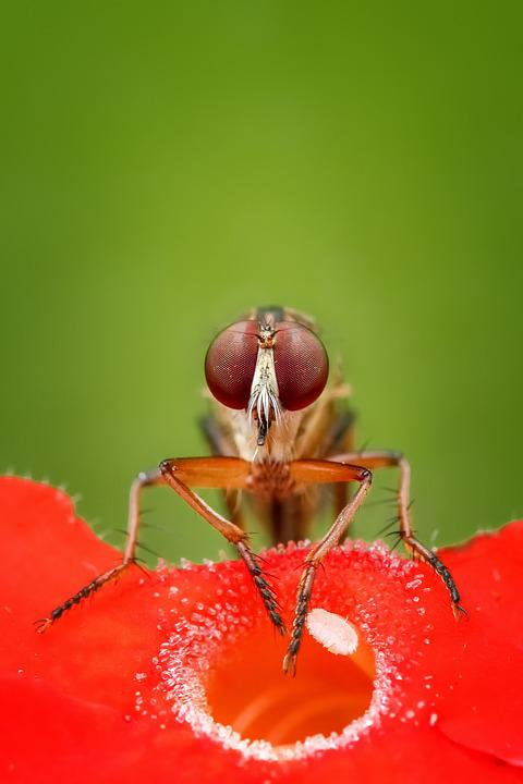Robber Fly, Fly, Insect, Macro, Animal, Wildlife