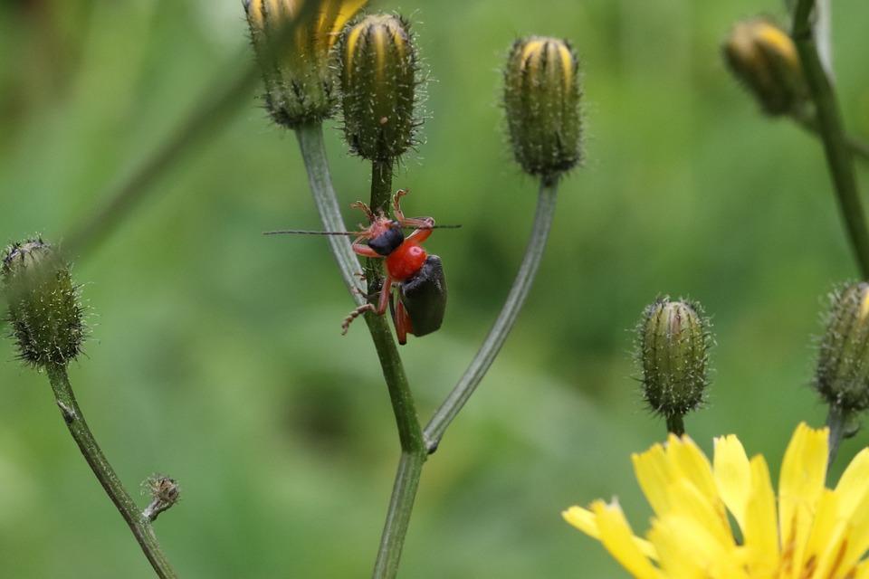 Beetle, Grass, Sitting, Macro, Firefighter