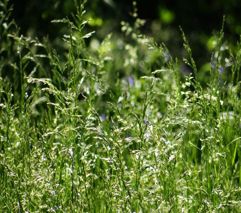 Tall, Grass, Seeds, Nature, Green, Macro