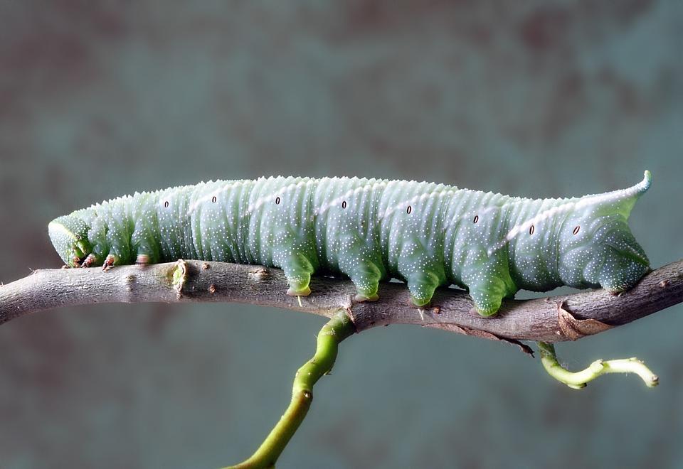 Caterpillar, Larva, Insect, Nature, Macro, Green