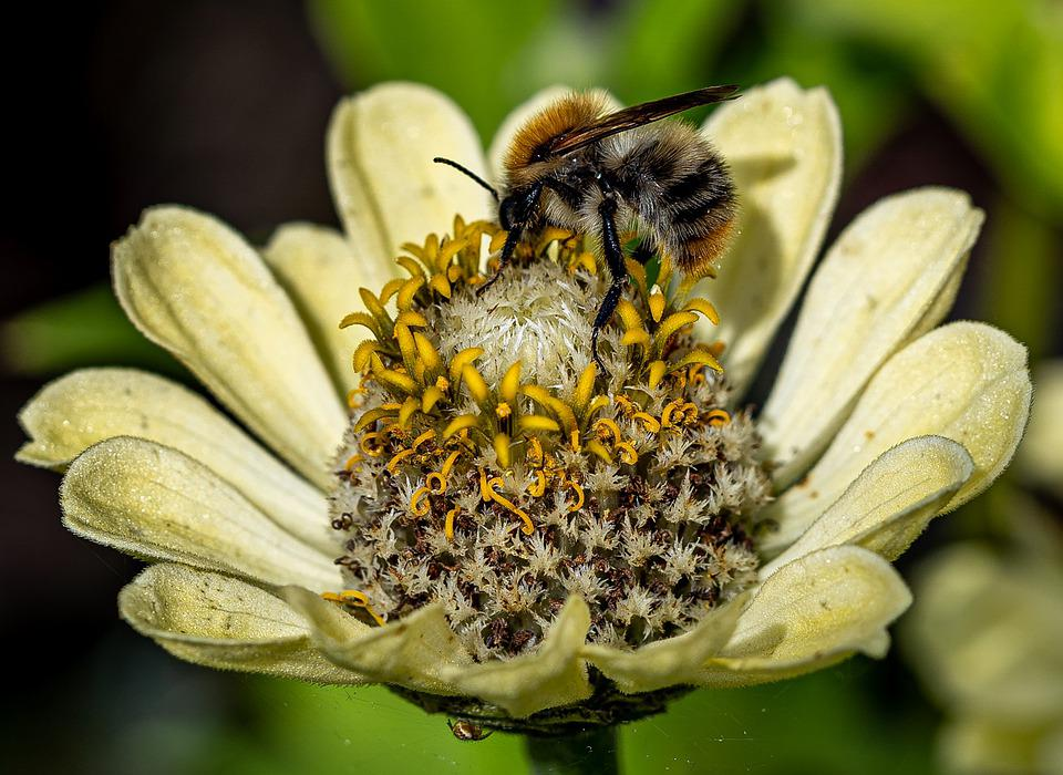 Flower, Bee, Insect, Garden, Nature, Macro, Blossom