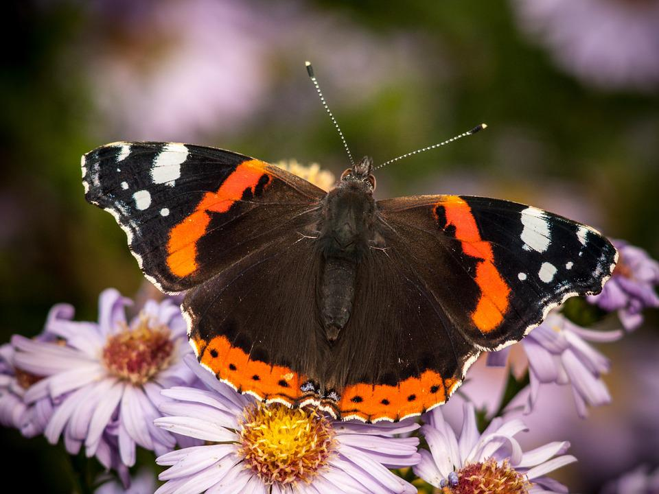 Butterfly, Insect, Nature, Macro, Flowers