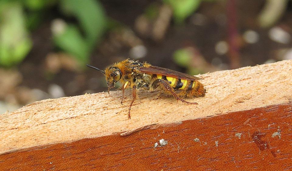 Macro, Insect, Wasp, Armenia