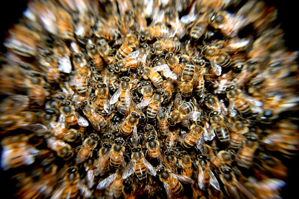 Bees, Swarm, Insects, Macro
