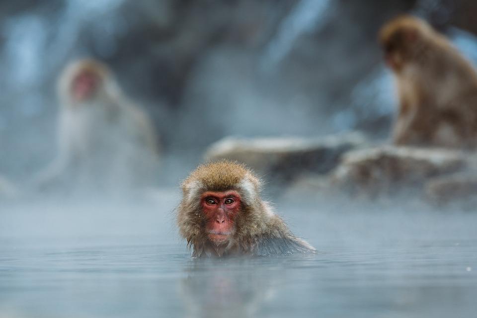 Animals, Macaque, Macro, Monkeys, Nature, Outdoors