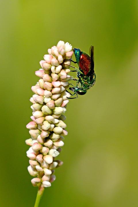 Macro, Wasp, Cuckoo, Hymenoptera, Colorful, Metallic