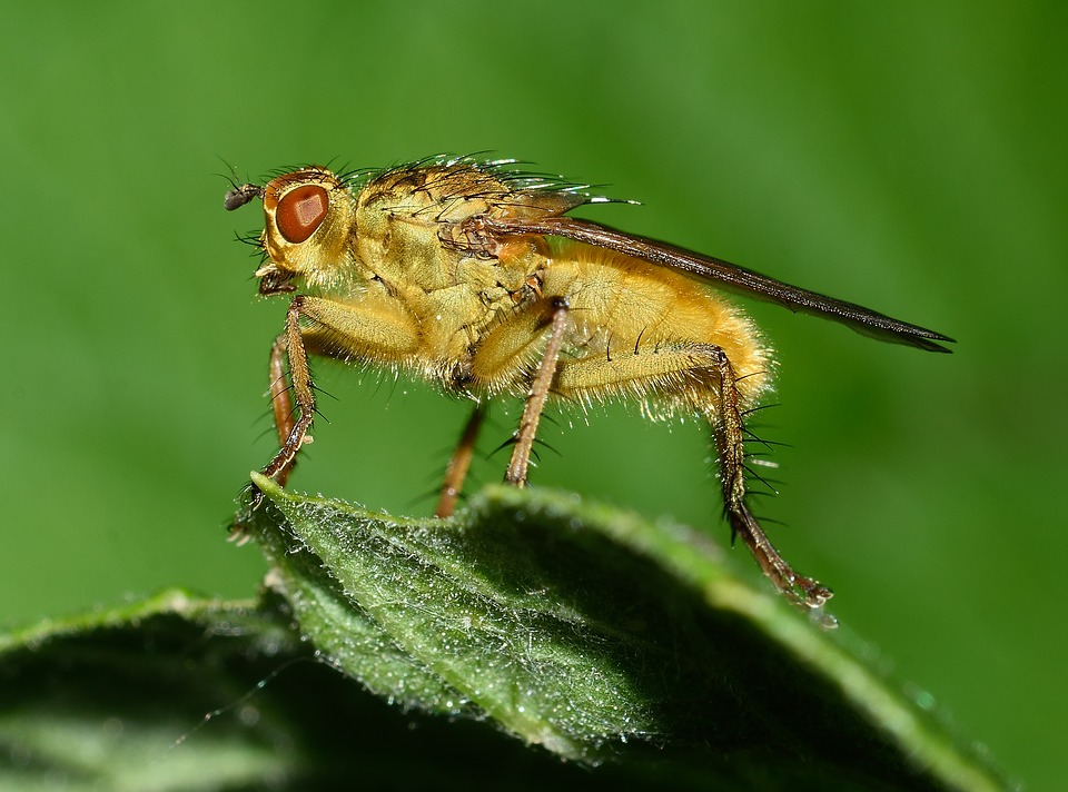 Insects, Brine Fly, Moscow, Macro