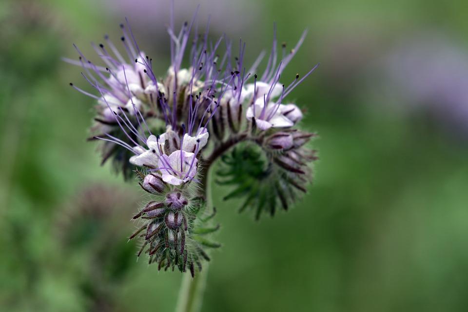 Phazelia, Macro, Nature, Blossom, Bloom, Bee-friendly
