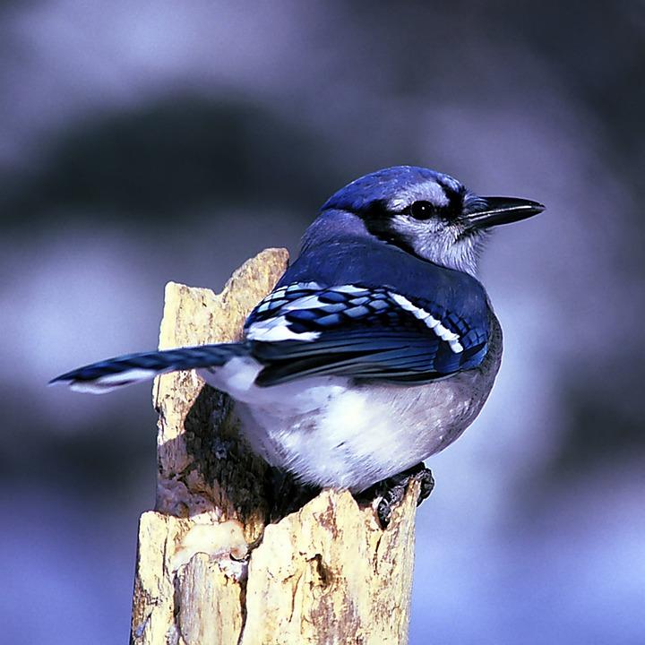 Blue Jay, Bird, Nature, Outside, Macro, Close-up, Wood