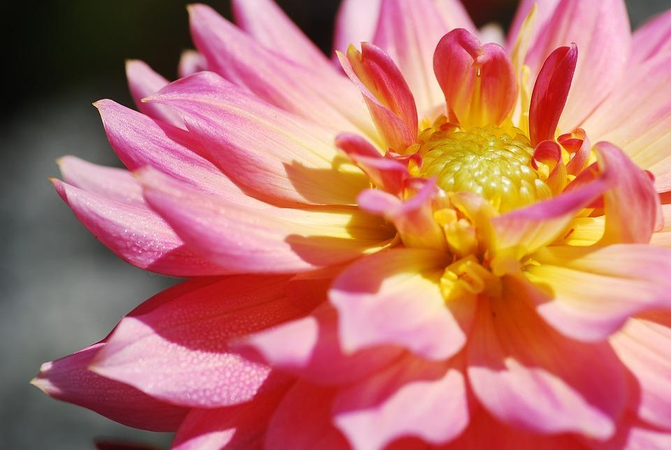 Lotus, Thailand, Macro, Nature, Flower