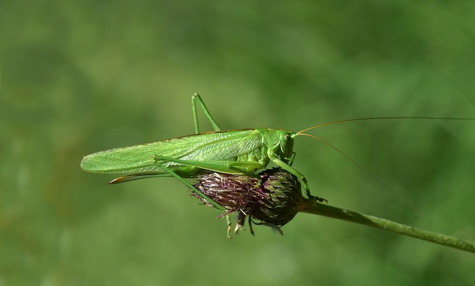 Grasshopper, Insect, Nature, Green, Close Up, Macro