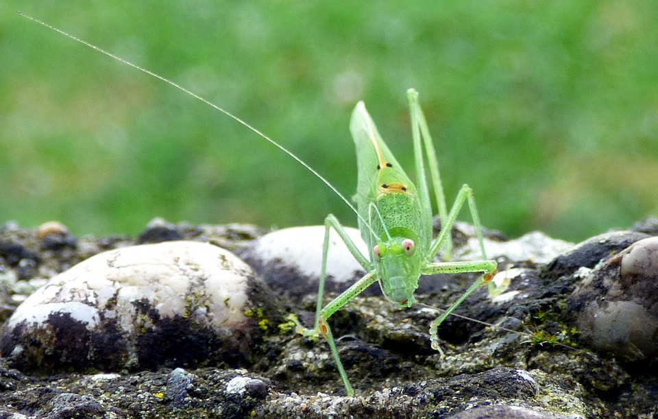 Insect, Grasshopper, Green, Macro, Nature, Close Up