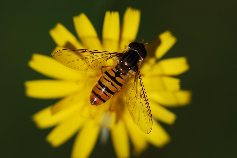 Hover Fly, Insect, Close, Animal, Nature, Macro, Fly