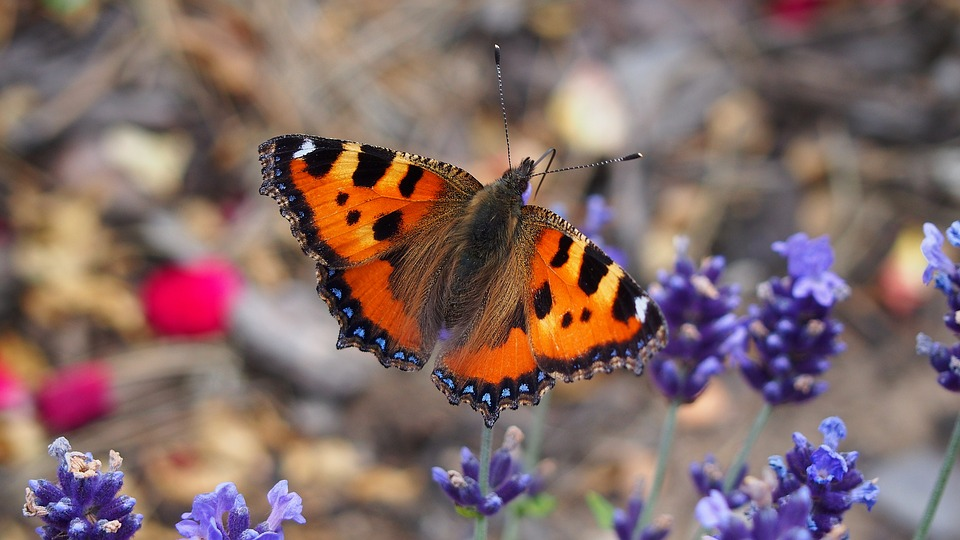 Animals, Butterfly, Insect, Macro, Nature, Insects