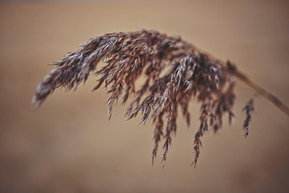 Reed, Macro, Phragmites, Nature, Natural