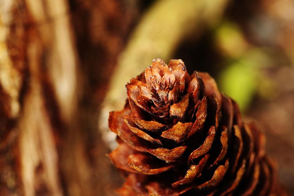 Pinecone, Macro, Nature