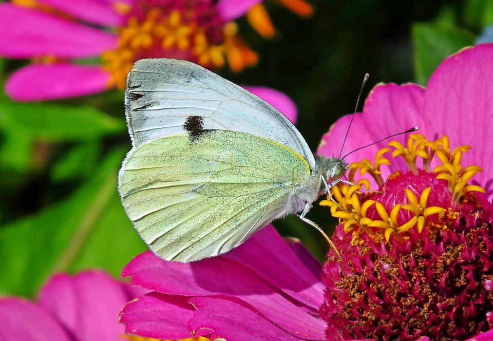 Butterflies, Insects, Nature, Flower, Macro, Wing