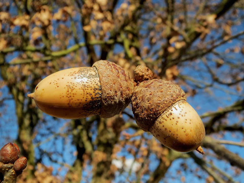 Awesome Oak Tree Fruit Part - 12: Oak, Quercus Robur, English Oak Tree, Nuts, Macro