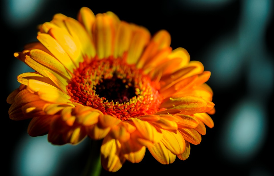 Gerbera, Macro, Close, Flower, Lovely, Petal, Spring