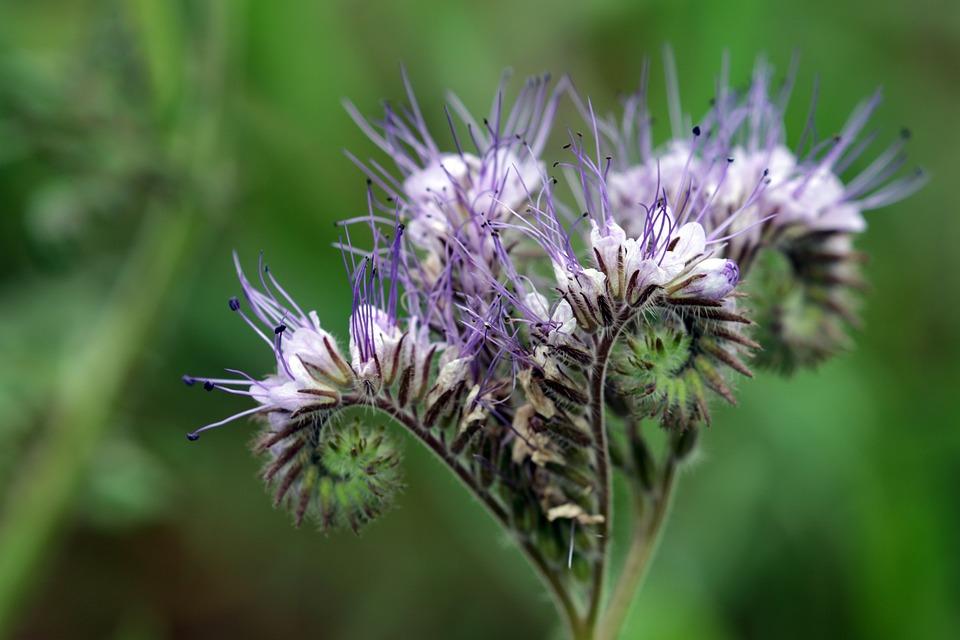 Phazelia, Bee Friend, Macro, Nature, Blossom, Bloom
