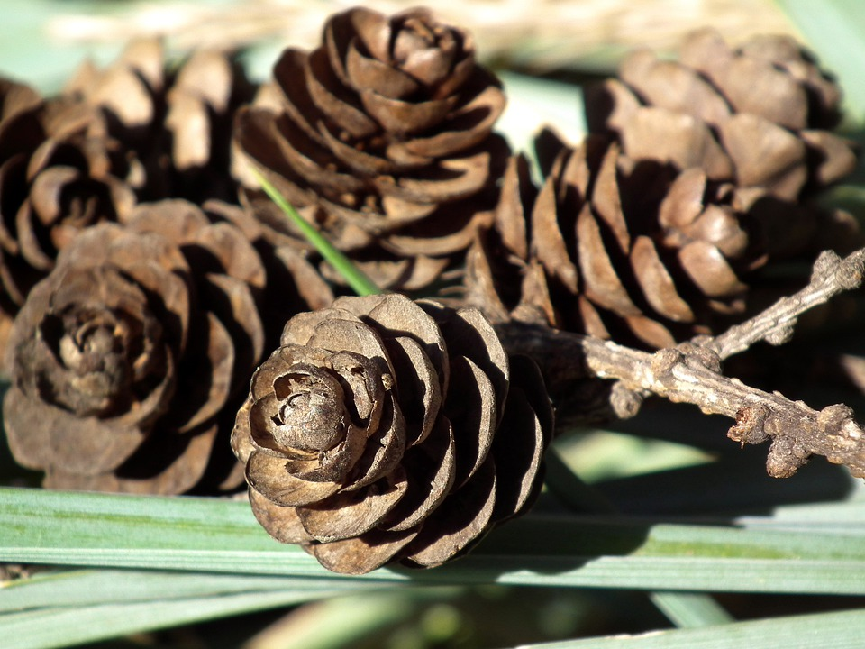 Cones, Brown, Forest, Grass, Plant, Macro, Nature