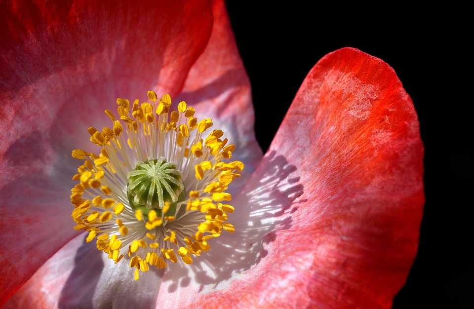 Poppy, Poppy Flower, Macro, Close, Pollen, Stamp