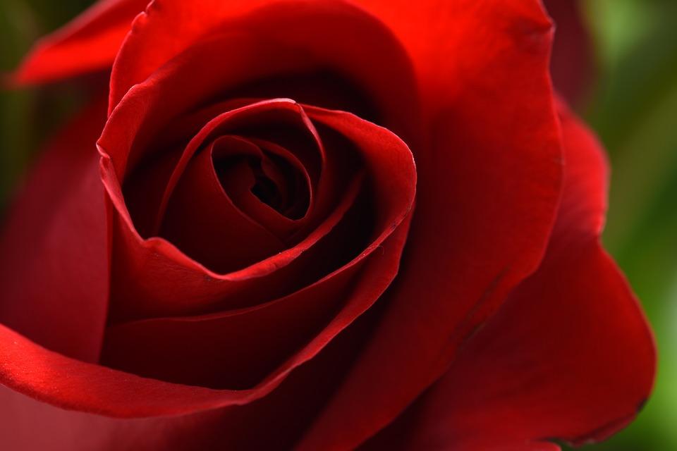Red, Rose, Flower, Blossom, Nature, Bloom, Macro, Plant