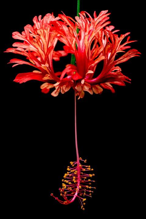 Hibiscus, Plant, Red, Macro, Close Up