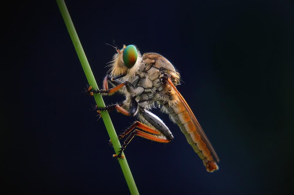 Macro, Robber-fly, Animal, Wildlife, Dark, Insect