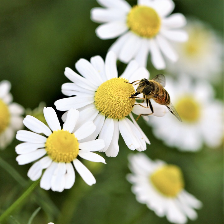 Daisy, Flower, Bee, Insect, Animal, Macro, Roosting