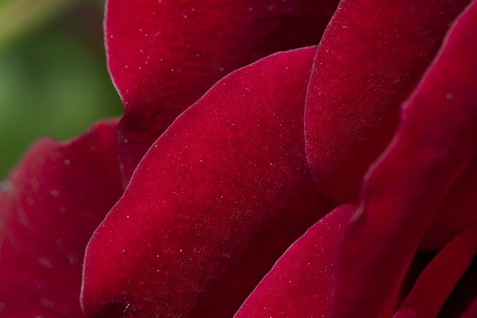 Rose, Red, Red Roses, Flower, Blossom, Bloom, Macro