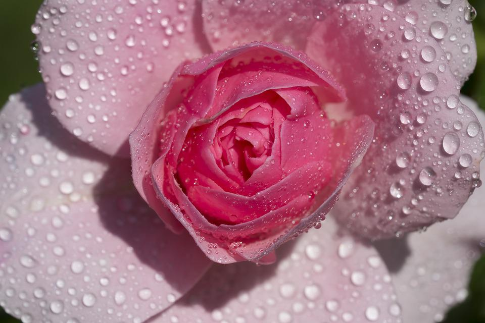 Pink, Flower, Rose, Color, Drops, Macro, Nature
