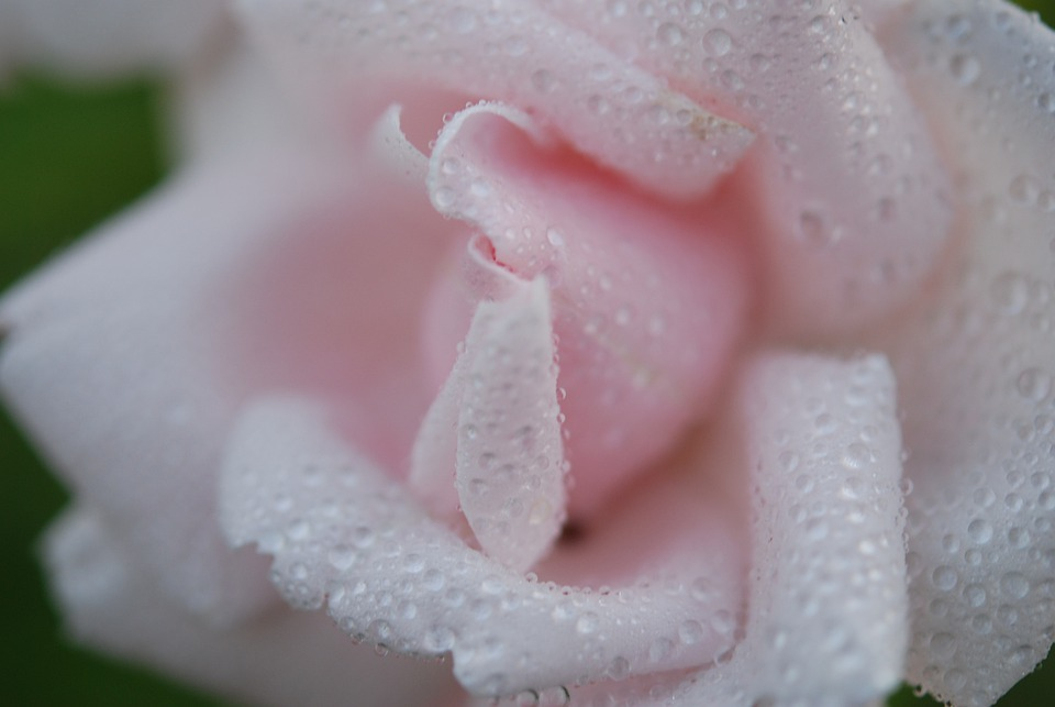 Rose, Spring, White, Flower, Nature, Macro
