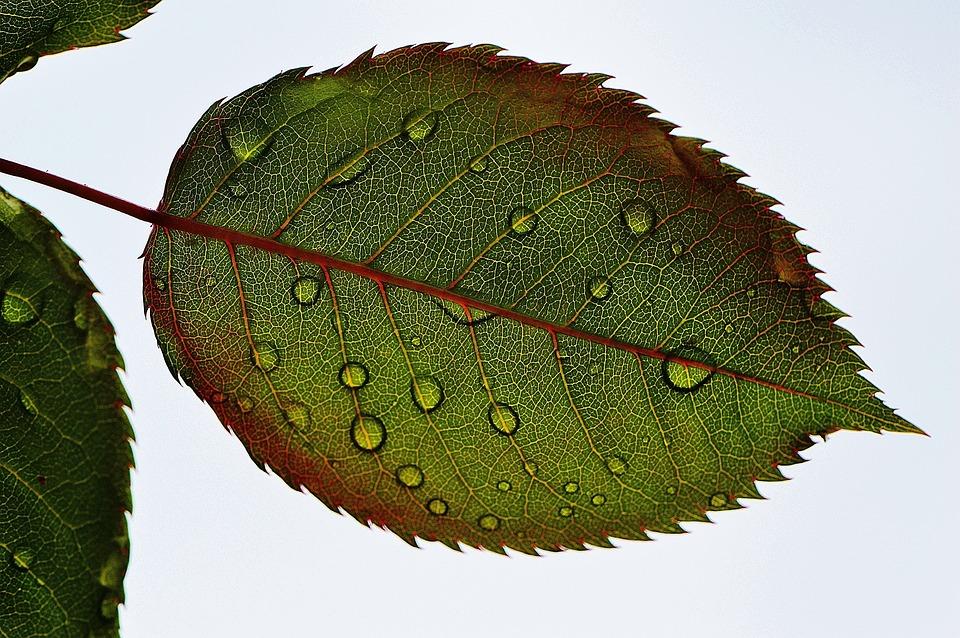Rosenblatt, Leaf, Wasserperlen Wet, Drip, Macro