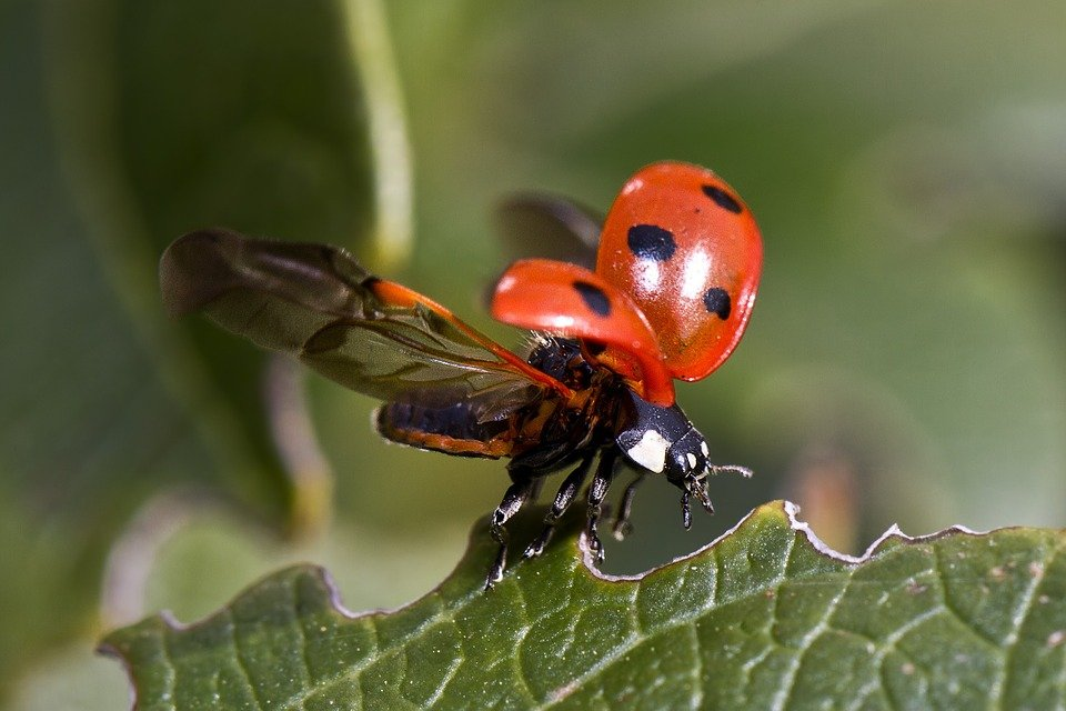 Ladybug, Flight, Beetle, Insect, Macro, Sheet, Nature