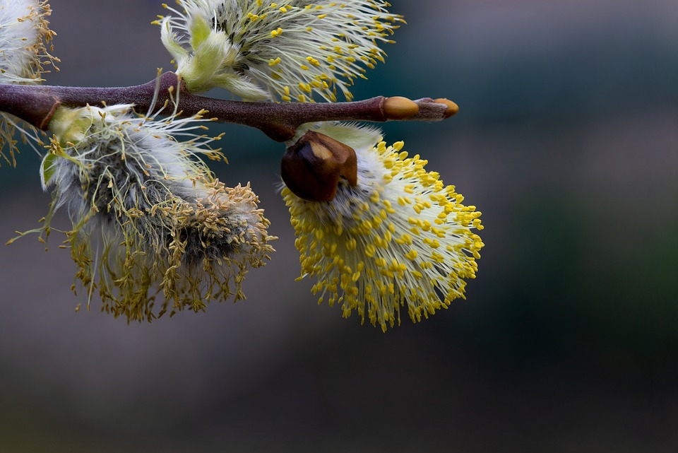 Willow Catkin, Macro, Spring, Nature, Plant, Close Up