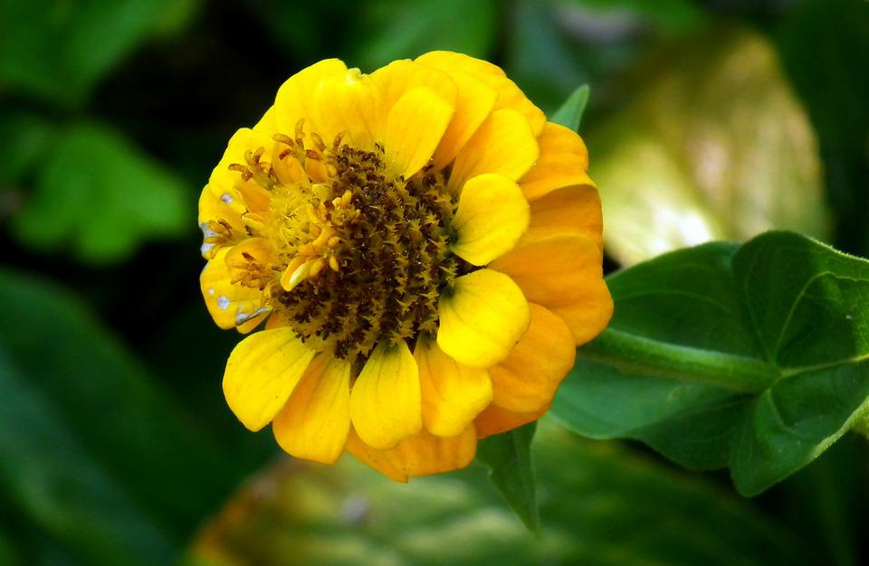 Zinnia, Flower, Yellow, Garden, Macro, Nature, Summer