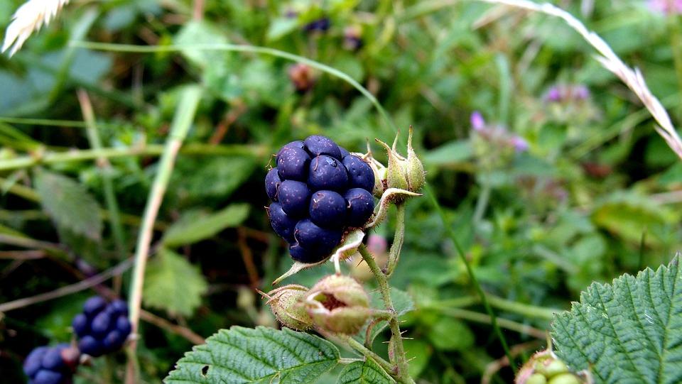 Plants, Blackberry, Macro, Plant, Figure, Fruit, Thorn
