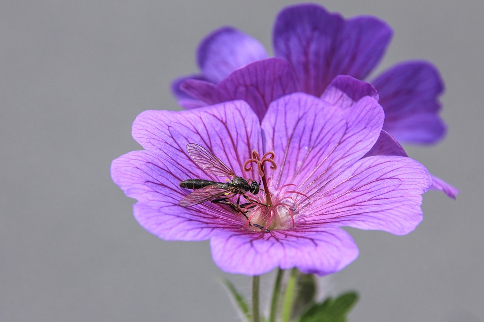 Blütenduo With Insect, Flower, Purple, Violet, Macro