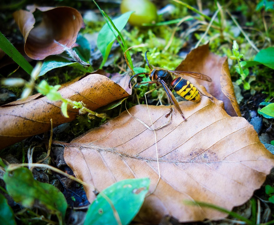 Bee, Hornet, Wasp, Insect, Forest Floor, Leaf, Macro